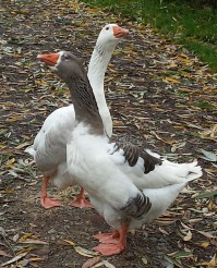 autumnal geese